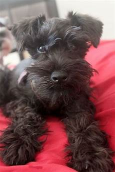 27 best images about schnauzers pinterest schnauzer miniature and black schnauzer