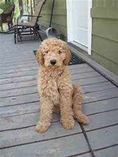 types of goldendoodle haircuts google search pretty google types of and search on pinterest