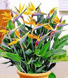 Paradiesvogel Blume Strelitzie 1 Pflanze Strelitzia