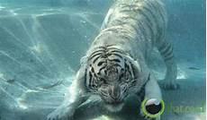 Terdambakan 33 Fakta Seputar Si Raja Hutan Quot Harimau Quot