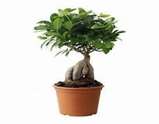 Ficus Ginseng Giftig Generasjonsskifte Landbruk