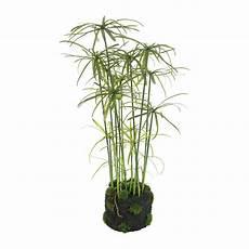 Buy A By Amara Papyrus Plant In Soil Amara