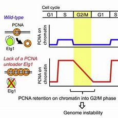 pcn9a pcna retention on dna into g2 m phase causes genome