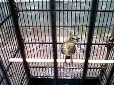 Paling Bagus 30 Gambar Burung Jongkangan Jantan Richa