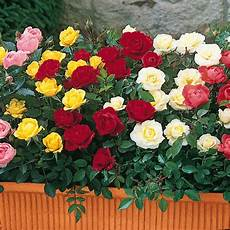 roselline in vaso flowers for flower miniature roses pictures
