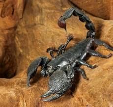Malvorlagen Hunde Ide Gesunde Tipps F 252 R Das Sternzeichen Skorpion
