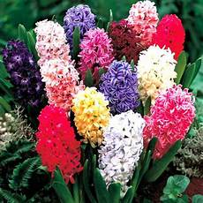 giacinto fiore bulbi fiore giacinto mondo piante vendita piante