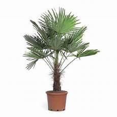 palmier trachycarpus fortunei palmiers balcon et