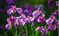 iris fiore immagini free wallpapers iris flower wallpapers