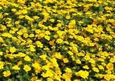 bodendecker gelb winterhart potentilla aurea fr 252 hlingsfingerkraut anfang mai