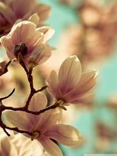 magnolia flower iphone wallpaper iphone magnolia wallpaper hd pictures