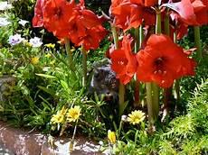 amaryllis giftig für katzen amaryllis 187 giftig f 252 r katzen ritterstern
