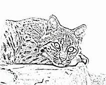 Scary Eyes Bobcat Coloring Pages  Best Place To Color