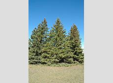 White Spruce (Picea glauca) in Inver Grove Heights