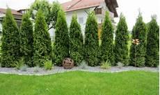 thuja hecke pflanzen pin san dra auf garten garten garten hochbeet und