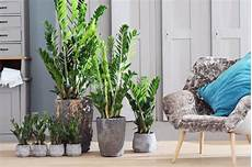 große pflanzen fürs wohnzimmer zimmerpflanzen nachhaltig gut f 252 r raumklima gesund und entspannend