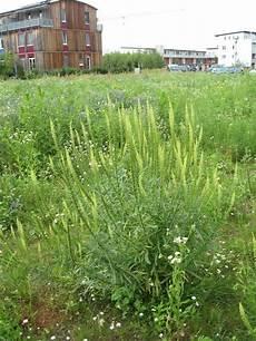 ambrosia blühend lila h 228 ufige verwechselungen
