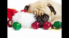 pug dogs all dressed up with we wish you a merry christmas carol youtube