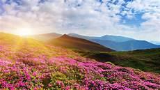 purple nature 4k wallpaper wallpaper rhododendron flowers mountain summer pink 4k