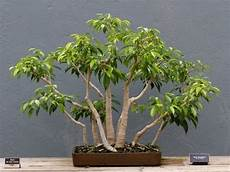 bonsai ficus benjamini ficus benjamina tropical bonsai ii