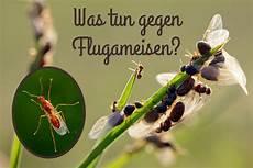 flugameisen was tun gegen ameisen mit fl 252 geln