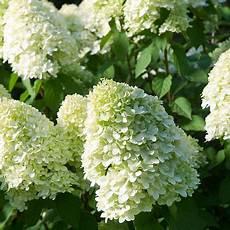 Hydrangea Paniculata Limelight Plants Thompson