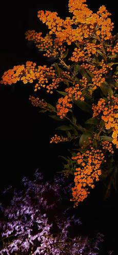 Orange Flowers Iphone Wallpaper by Iphonexpapers Apple Iphone Wallpaper An58 Apple Orange
