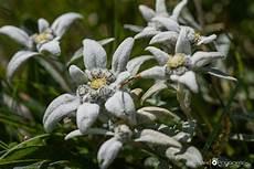 0la0nika planika ali očnica leontopodium alpinum miro podgoršek