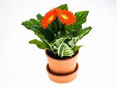 Free Photo Gerbera Flower Pot Plant Free