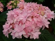 And Me Malvorlagen Romantis Hydrangea You Me 003 Planthaven International