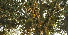 Pemeliharaan Tanaman Durian Dari Hama Dan Penyakit Info