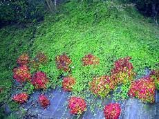 plantes vivaces pour talus plante couvrante pour talus fleur de