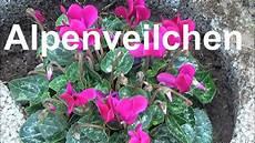 alpenveilchen pflegen pflanzen d 252 ngen gie 223 en standort