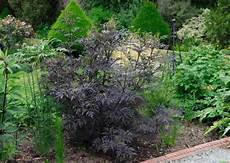schwarzer holunder black lace sambucus nigra