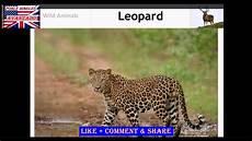 191 Como Decir Leopardo En Ingles How To Say Leopard