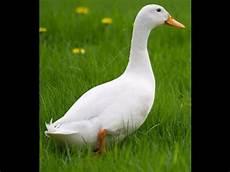 Tips Cara Ternak Bebek Peking Agar Cepat Besar Untuk Pe