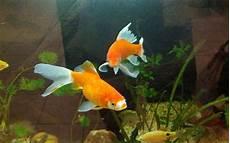 Jenis Jenis Ikan Hias Air Tawar Alam Tani