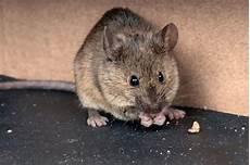 Souris Rats Mulot Ces Rongeurs Dont Il Faut Se D 233 Faire