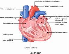 appareil cardio l appareil cardio vasculaire cours de la pharmacie