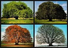 Ausmalbilder Herbst Und Winter Uralte Buche Im Fr 252 Hling Sommer Herbst Und Winter Foto