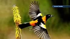 simbolos naturales de tinaquillo venezuela celebra el d 237 a nacional de la orqu 237 dea y del turpial s 237 mbolos naturales del pa 237 s