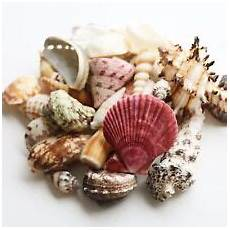 collectable shells for sale ebay