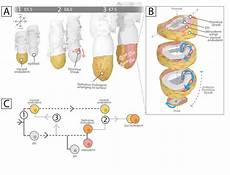 endoderm development in the mouse embryo a intercalation of download scientific diagram