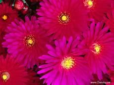 sfondi fiore sfondi fiori centro isa