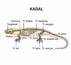 Anatomi Rangka Vertebrata Detik Biologi
