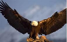 iphone black eagle wallpaper hd wallpaper 5120x3200 bird beautiful black