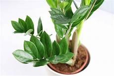 giftige zimmerpflanzen baby ist die zamioculcas zamie giftig f 252 r kinder und haustiere