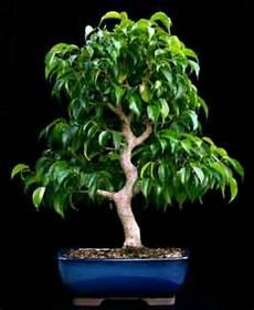 bonsai ficus benjamini ficus benjamina bonsai house plants terrariums