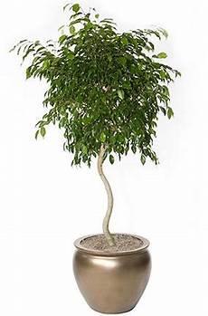 fig tree ficus benjamina s h interiorscapes