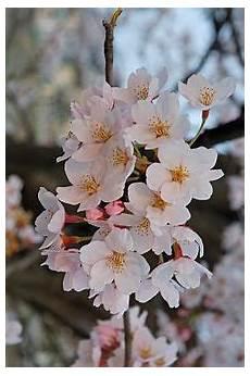 ca fiore fiore di ciliegio